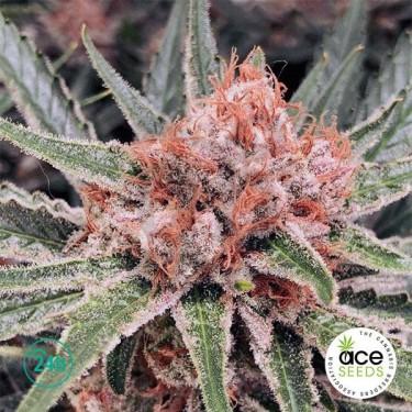Zamaldelica Fem planta de marihuana