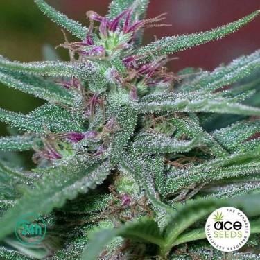 Panama Fem planta de marihuana