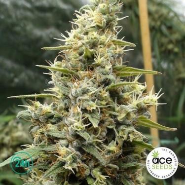 Panama Haze Fem planta de marihuana