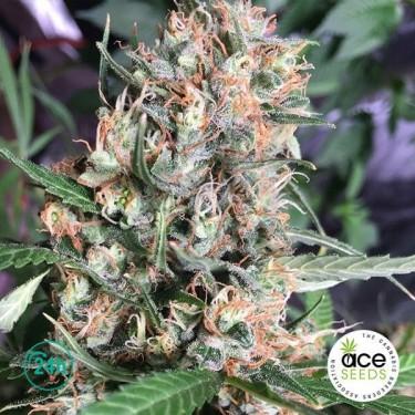 Orient Express Fem planta de marihuana