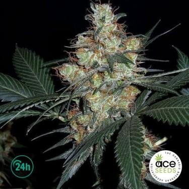 Nepalese Jam Fem planta de marihuana