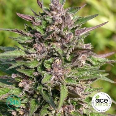 Congo Fem planta de marihuana