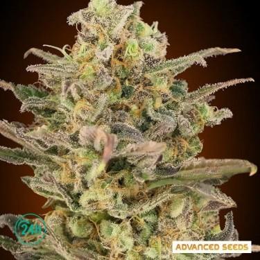 Somango Glue planta de marihuana