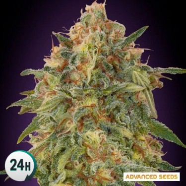Zkittlez planta de marihuana