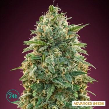 Amnesia planta de marihuana