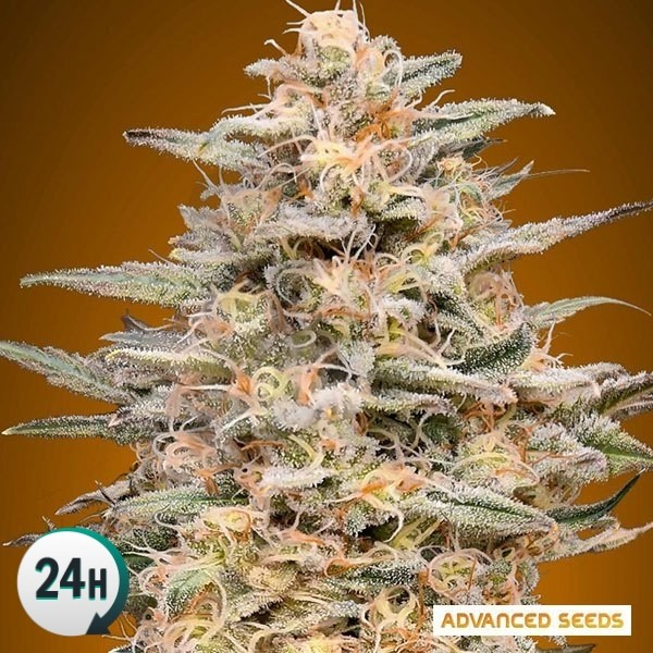 Somango Widow planta de marihuana