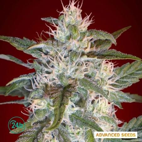 Kaya 47 planta de marihuana