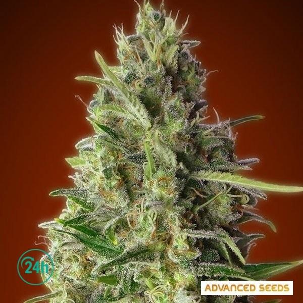 Kali 47 planta de marihuana