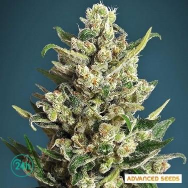 Ice Kush planta de marihuana