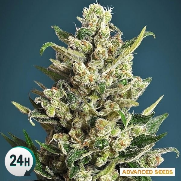 Ice Kush cannabis plant