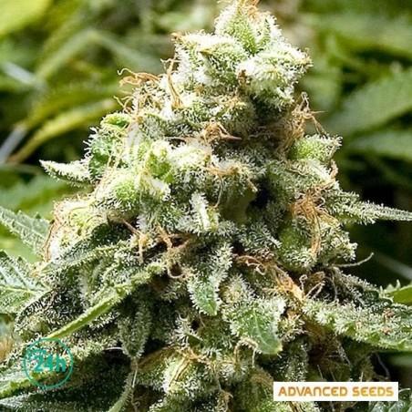 Early Widow planta de marihuana