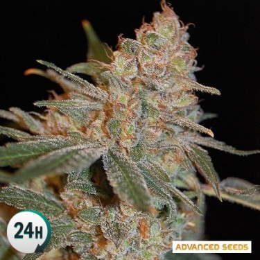 Black Diesel planta de marihuana