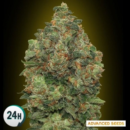 Auto Critical Soma planta de marihuana