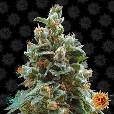 Vanilla Kush planta de marihuana