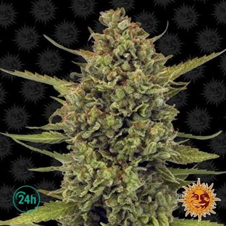 Acapulco Gold planta de marihuana