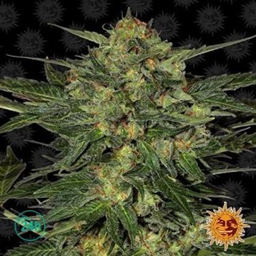 LSD planta de marihuana
