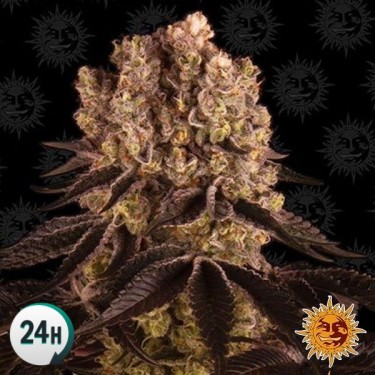 Purple Punch planta de marihuana