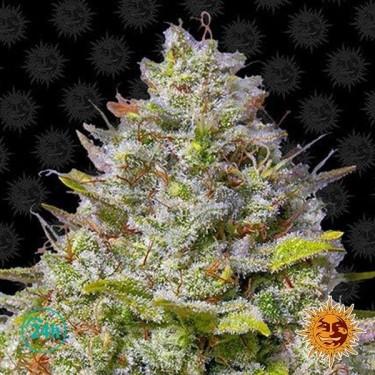 Blue Gelato 41planta de marihuana