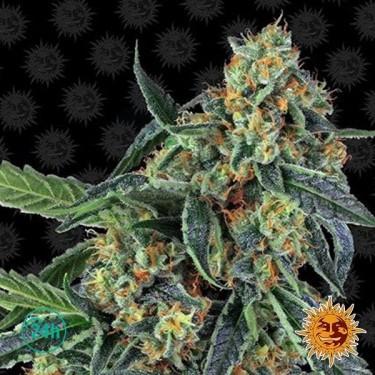 Cookies Kush planta de marihuana