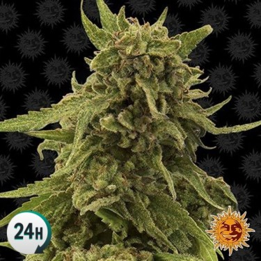 CBD Blue Shark Planta de marihuana