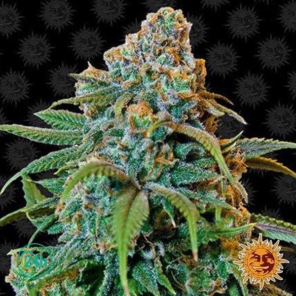 Liberty Haze planta de marihuana