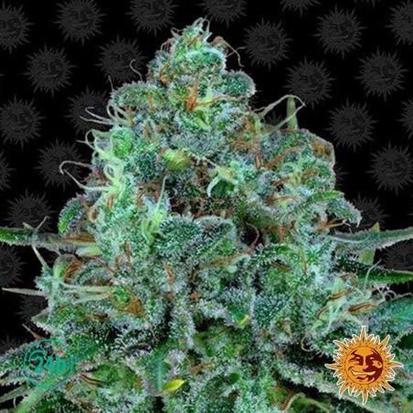 Critical Kush planta de marihuana