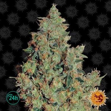 Tangerine Dream planta de marihuana