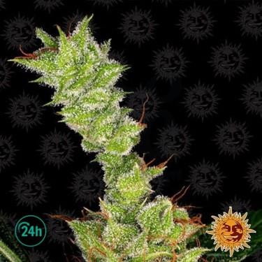 Sweet Tooth planta de marihuana