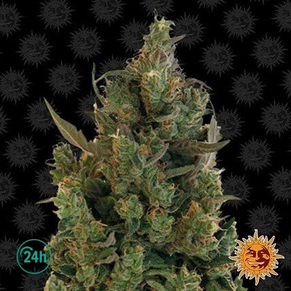 Blue Cheese planta de marihuana