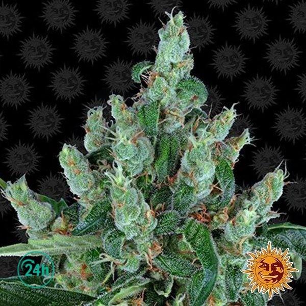 Laughing Buddha planta de marihuana