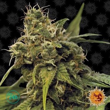 Utopia Haze planta de marihuana