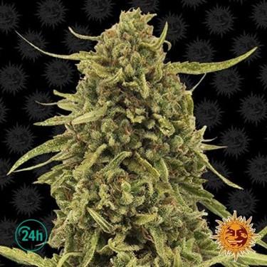 Top Dawg planta de marihuana