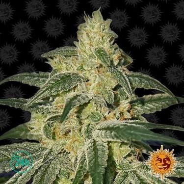 Afghan Hash Plant Regular planta de marihuana