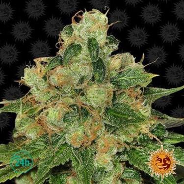 CBD Caramel Regular planta de marihuana