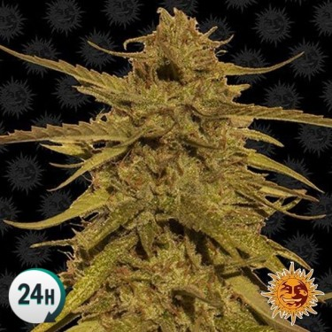 Pineapple Haze Regular planta de marihuana