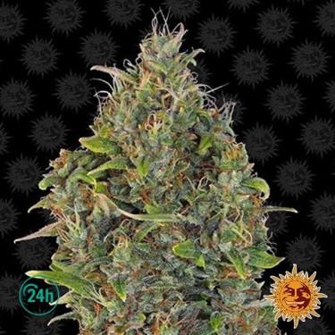 Critical Kush Regular planta de marihuana