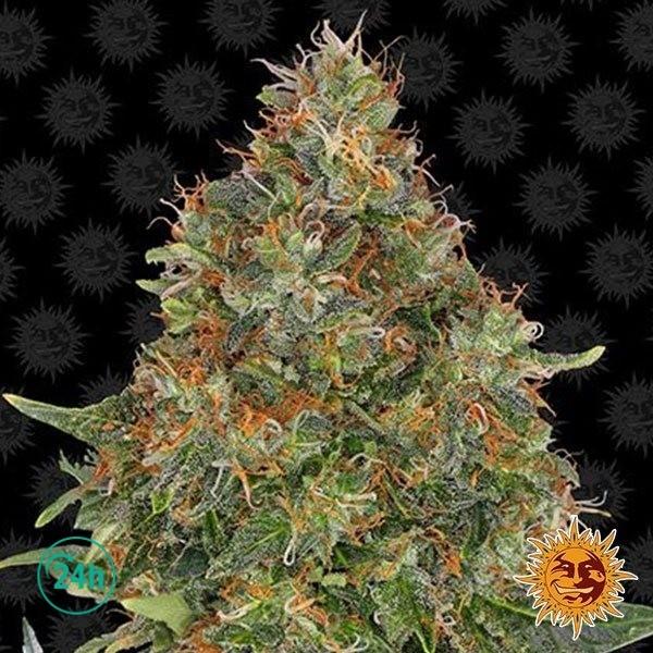 Pineapple Express Auto planta de marihuana