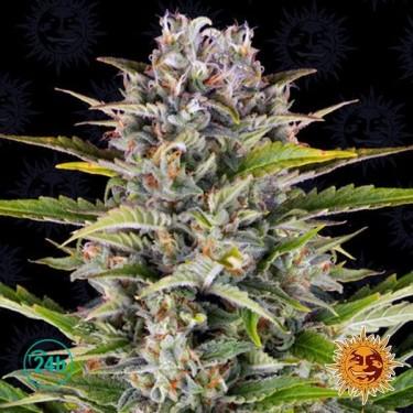 Gorilla Zkittlez Auto planta de marihuana