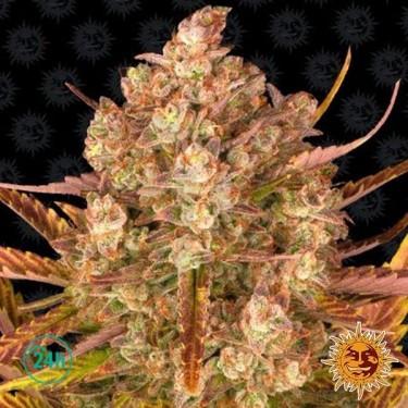 Dos Si Dos Auto planta de marihuana