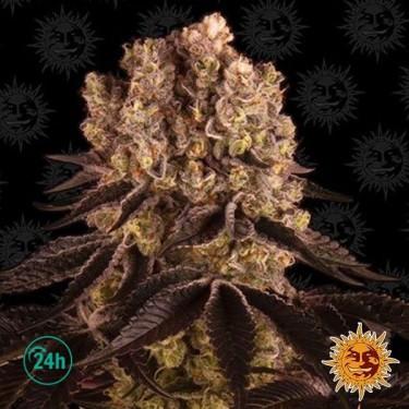 Purple Punch Auto planta de marihuana
