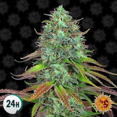 LSD Auto planta de marihuana