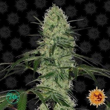 Tangelo Rápido Auto - Planta de marihuana