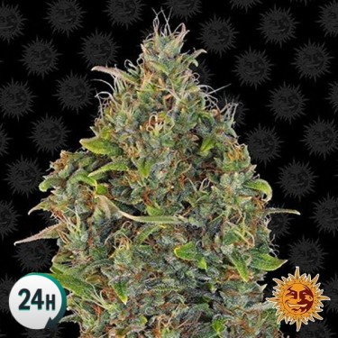 Critical Kush Auto planta de marihuana