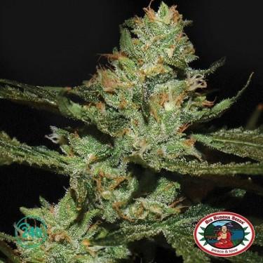 Strawnana Sundae planta de marihuana