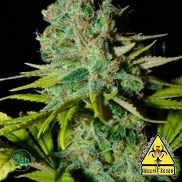 Big Lights marijuana plant