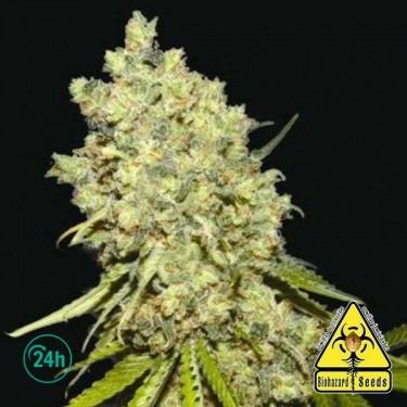 Somanta planta de marihuana