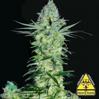 Goddess Kali planta de marihuana