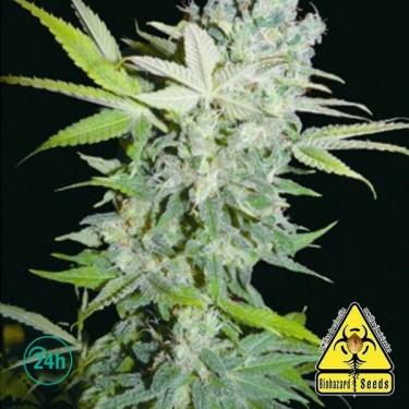Criminal Jack planta de marihuana