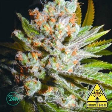 Jawar planta de marihuana