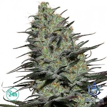 Morpheus planta de marihuana